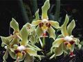 Orchidee IV